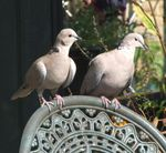 Title: Collard Doves