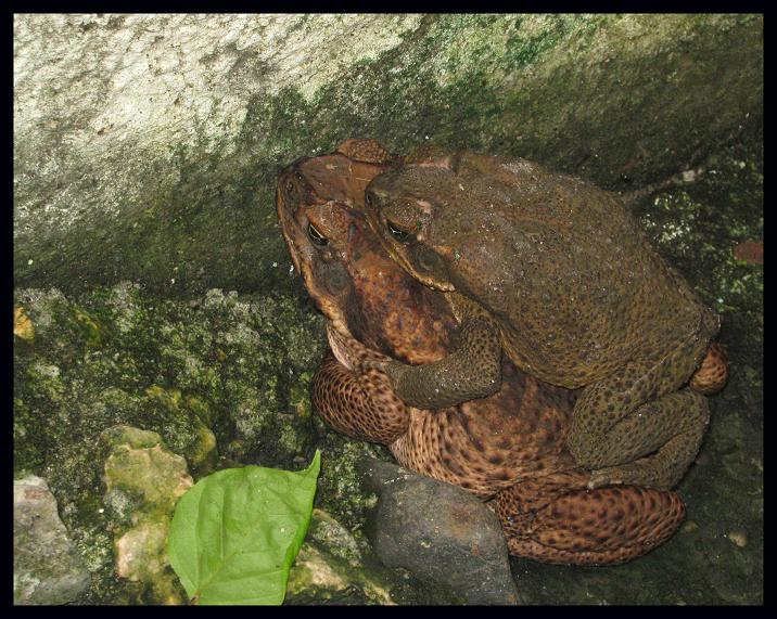 Mating Season of Frogs