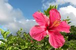 Title: Brilliant red hibiscus - Epi Island