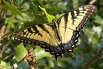 Title: Yellow SwallowtailKodak Easyshare P880