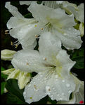 Title: Azaleas in the rain