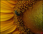 Title: Bee and Sunflower