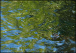 Title: Fresh water terrapin