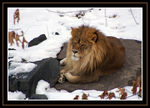 Title: Lion in Winter