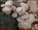 Title: Oyster Mushrooms in the rain