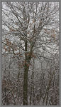 Title: Red Oak in Winter