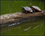 Title: Basking Turtles