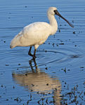 Title: Spoonbill at Lagoon
