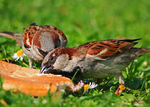 Title: Cock Sparrows