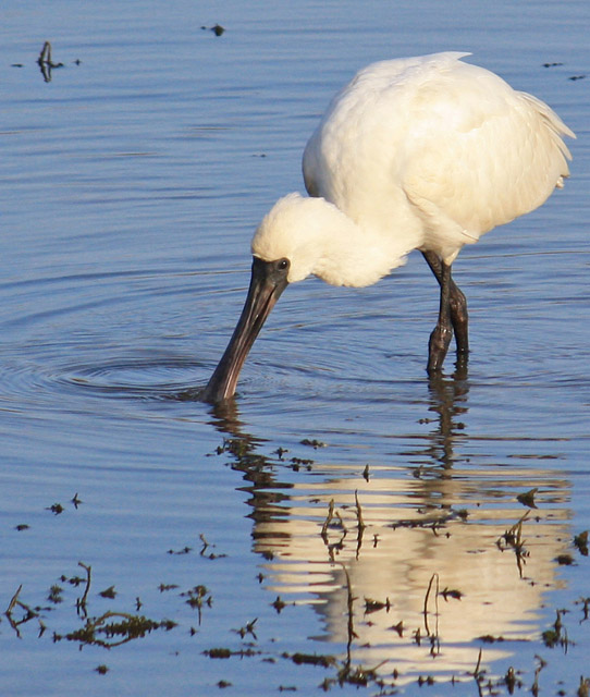 Royal Spoonbill feeding