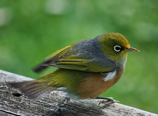 waxeye on deck