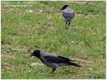 Title: Hooded Crows