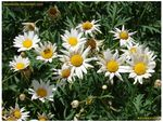 Title: Daisies & Bee