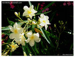 Title: Yellow Oleander