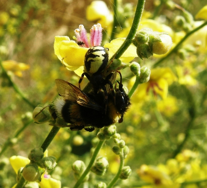 bombus and spider in flower