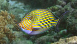 Title: Blue Banded Surgeonfish