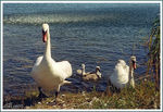Title: Family of swans