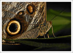 Title: Mournful Owl Butterfly