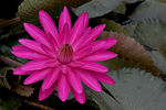 Title: Water Lily 2