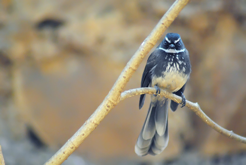 WhiteThroated Fantail