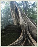 Title: Ta Prohm Untouched