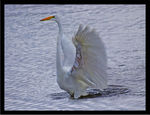 Title: Flapping Egret