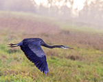 Title: Herron on a rainy day