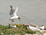 Title: Black-headed Gulls