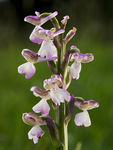Title: Orchis morio