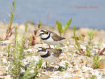 Title: Little Ringed Plovers