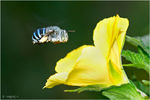 Title: Blue Banded Bee