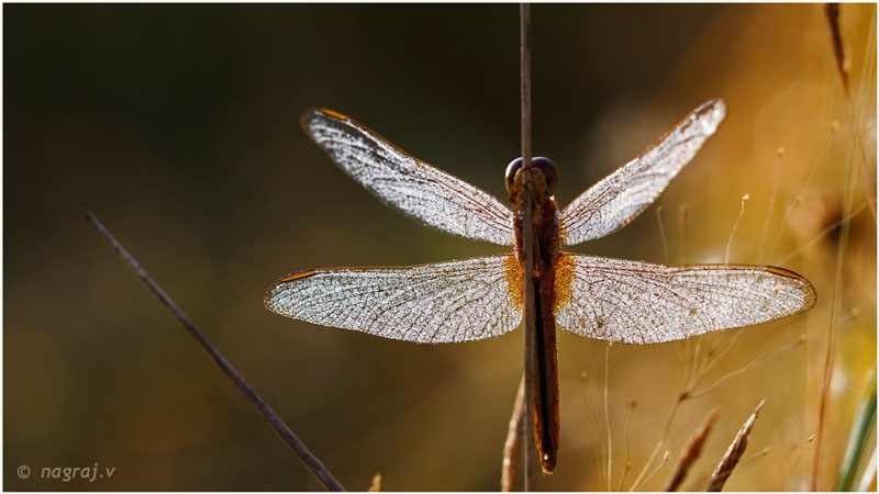 Dew on Dragonfly