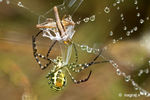 Title: The Grand Argiope with prey