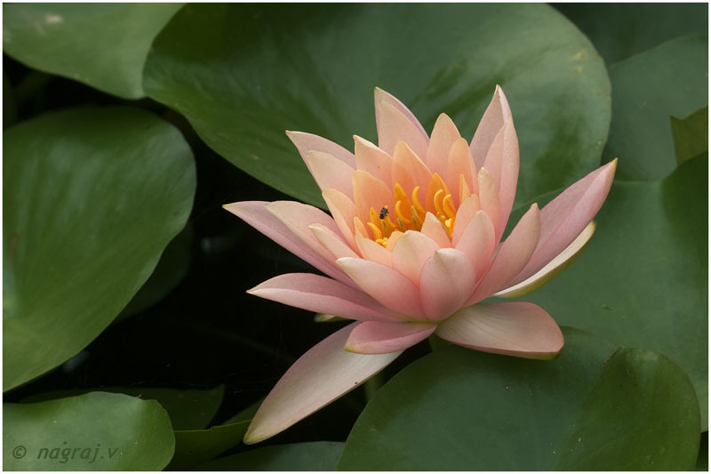 Peach Glow Water-lily