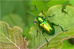 Title: The Green Beetle