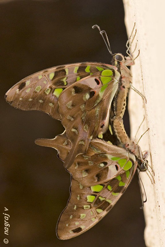 Dakhan Tailed Jay