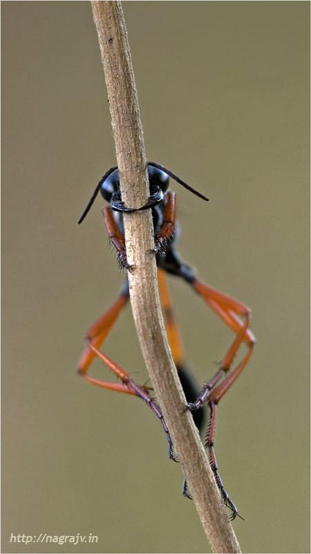 Resting Wasp