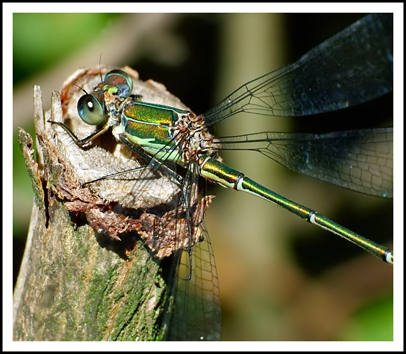 Metalic damselfly