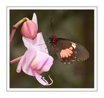 Title: Ruby-spotted Swallowtail