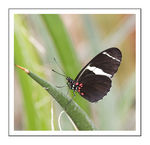 Title: The Sara Longwing  in a low F shot