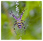 Title: my first wasp spider