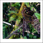 Title: Brown Hawker DragonflyCanon  40D