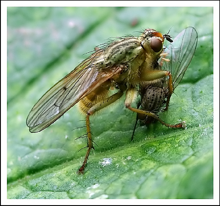 meat eating shitfly