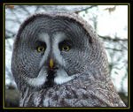 Title: The Great Gray Owl