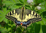 Title: Swallowtail butterfly