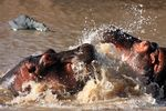 Title: Hippo tussle