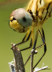 Title: Eyes have it - Dragonfly