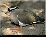 Title: Crowned Plover