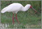 Title: African Spoonbill
