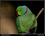 Title: Roseringed Parakeet No.2Canon EOS 20D